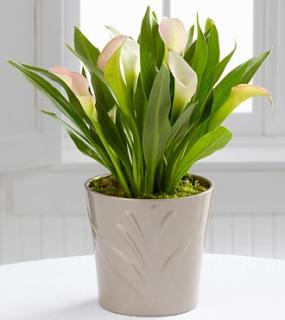 Silver Linings Calla Lily Plant by Better Homes and Gardens